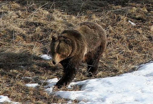 Serbian Brown Bear
